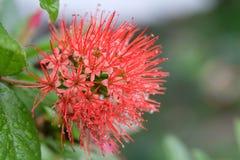 Chiuda su del fiore dorato rosso di Penda, fiorendo Xanthostemon rosso Chrysanthus in fioritura strabiliante con goccia di pioggi Fotografia Stock