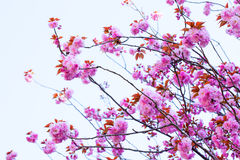 Chiuda su del fiore e del cielo blu di ciliegia doppi di fioritura Immagini Stock