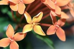 Chiuda su del fiore giallo con quattro petali Fotografia Stock