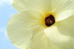 Chiuda in su del fiore giallo contro cielo blu. Immagini Stock Libere da Diritti