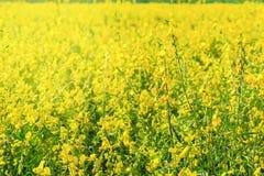Chiuda su del fiore giallo della canapa delle indie nel campo fotografie stock libere da diritti