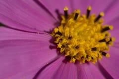 Chiuda su del fiore porpora dell'universo fotografia stock libera da diritti