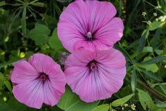 Chiuda su del fiore porpora nel giardino Fotografie Stock Libere da Diritti