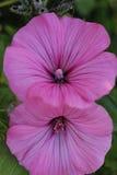 Chiuda su del fiore porpora nel giardino Immagini Stock