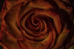 Chiuda su del fiore rosa Immagini Stock Libere da Diritti