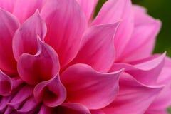 Chiuda su del fiore rosa: aster con i petali rosa ed il cuore giallo per fondo o struttura Fotografia Stock Libera da Diritti