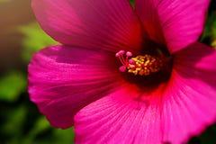 Chiuda su del fiore rosa con i petali rosa ed il cuore giallo per fondo o strutturi Immagine Stock