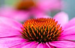 Chiuda su del fiore rosa del cono Fotografie Stock