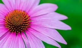 Chiuda su del fiore rosa del cono Fotografia Stock
