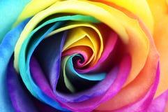 Chiuda su del fiore rosa del Rainbow Immagini Stock