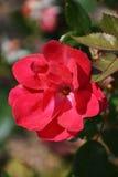 Chiuda in su del fiore rosso Fotografia Stock