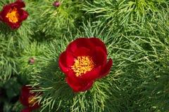 Chiuda su del fiore rosso del tenuifolia di Paeonia Immagini Stock Libere da Diritti