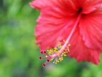 Chiuda su del fiore rosso dell'ibisco immagine stock libera da diritti