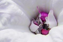 Chiuda in su del fiore rosso magenta & bianco Fotografie Stock