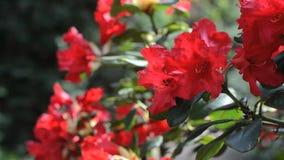Chiuda su del fiore rosso del rododendro che trema sul vento in un giardino botanico video d archivio