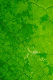 Chiuda in su del foglio verde Fotografia Stock