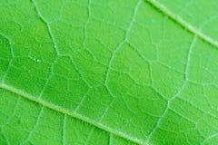 Chiuda in su del foglio verde Fotografie Stock