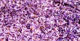 Chiuda su del fondo dei fiori dello zafferano Fotografia Stock