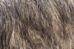 Chiuda su del fondo delle piume dell'emù Immagine Stock