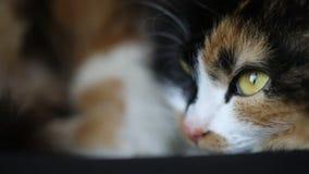 Chiuda in su del fronte del gatto Calma e disteso OCCHIO MARRONE stock footage