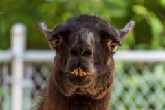 Chiuda su del fronte dell'alpaga allo zoo di coccole Fotografia Stock Libera da Diritti