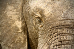 Chiuda in su del fronte dell'elefante africano Immagine Stock