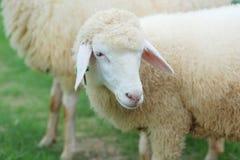 Chiuda in su del fronte delle pecore Fotografia Stock Libera da Diritti