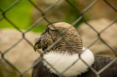 Chiuda su del fuoco selettivo del condor andino stupefacente, gryphus del Vultur dentro di una maglia metallica al parco del cond Immagine Stock