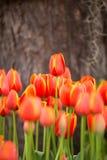 chiuda su del fuoco selezionato giardino floreale del tulipano Fotografie Stock