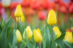 chiuda su del fuoco selezionato giardino floreale del tulipano Fotografie Stock Libere da Diritti