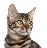 Chiuda in su del gattino del Bengala, 4 mesi Immagine Stock