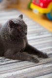 Chiuda su del gatto britannico dello shorthair a casa Fotografie Stock