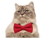 Chiuda su del gatto con la cravatta a farfalla rossa che guarda per parteggiare Fotografie Stock