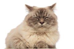 Chiuda su del gatto grigio sveglio che si trova e che dorme Immagini Stock Libere da Diritti