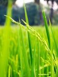 Chiuda su del giacimento del riso di verde giallo Immagine Stock Libera da Diritti
