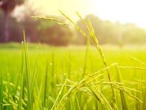 Chiuda su del giacimento del riso di verde giallo Immagini Stock Libere da Diritti