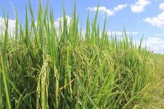 Chiuda su del giacimento del riso, Tailandia Immagini Stock Libere da Diritti