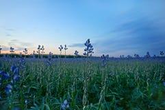 Chiuda su del giacimento del seme di lino al crepuscolo Fotografia Stock