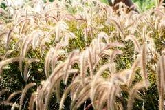 Chiuda su del giacimento di fiore bianco dell'erba Immagini Stock