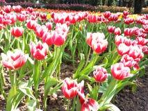 Chiuda su del giacimento di fiori variopinto del tulipano immagini stock libere da diritti