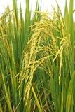 Chiuda su del giacimento giallo verde del riso in Tailandia Immagine Stock Libera da Diritti