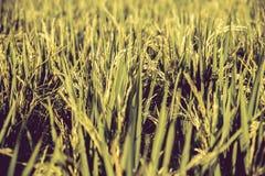 Chiuda su del giacimento del riso Fotografie Stock Libere da Diritti