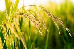 Chiuda su del giacimento del riso di verde giallo Fotografie Stock Libere da Diritti