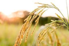 Chiuda su del giacimento del riso di verde giallo Immagine Stock