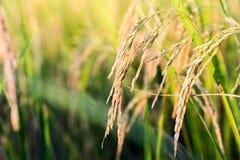 Chiuda su del giacimento del riso di verde giallo Fotografia Stock Libera da Diritti