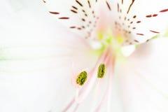 Chiuda su del giglio bianco e rosa Fotografie Stock Libere da Diritti