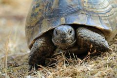 Chiuda su del hermanni del testudo, tartaruga sull'ambiente mediterraneo naturale Fotografia Stock Libera da Diritti