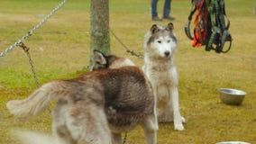 Chiuda su del husky del cane di slitta nell'inverno all'aperto che prende l'alimento archivi video