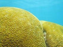 Chiuda su del labirinto del corallo di cervello Grooved Fotografie Stock Libere da Diritti