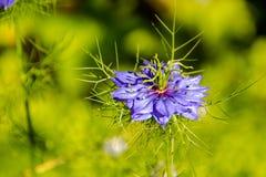 Chiuda su del Latino stracciato dei fiori di signora: Nigella Damascena, famiglia della ranunculaceae immagini stock libere da diritti